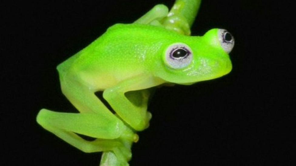 New 'see-through' frog discovered