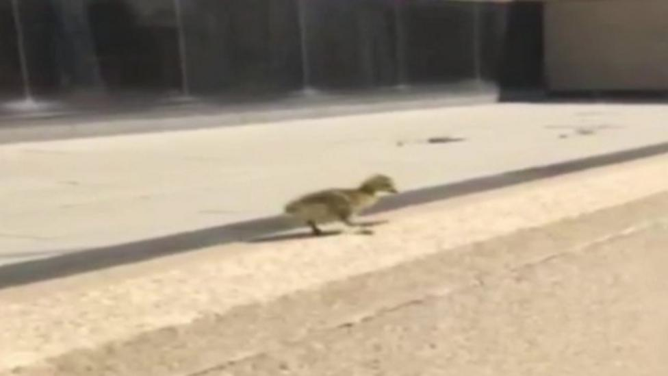 Baby geese take a big leap to safety