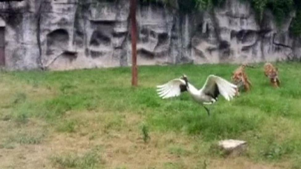 Crane fights off two tigers in zoo