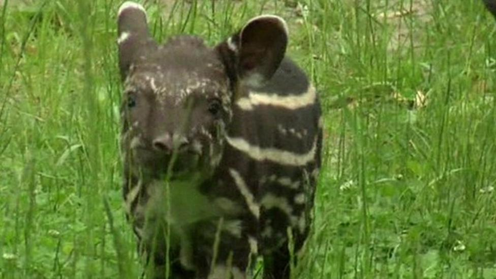 Baby tapir born in Prague