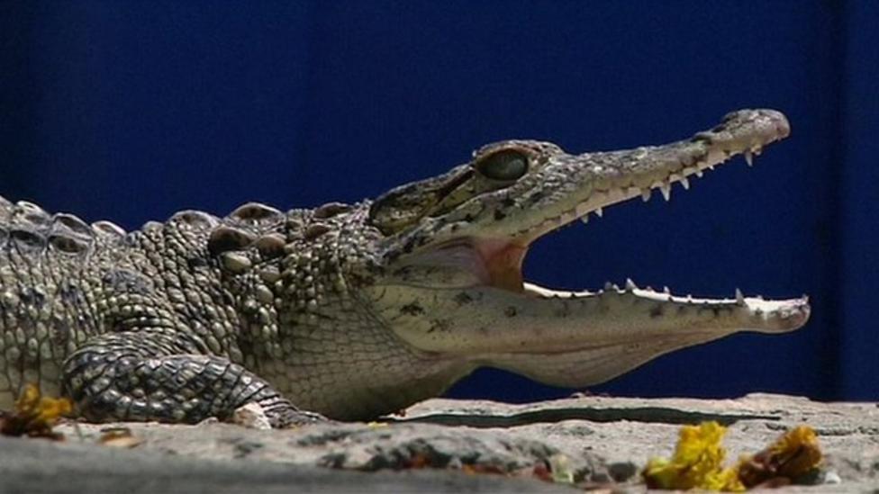 Baby crocs released into the wild