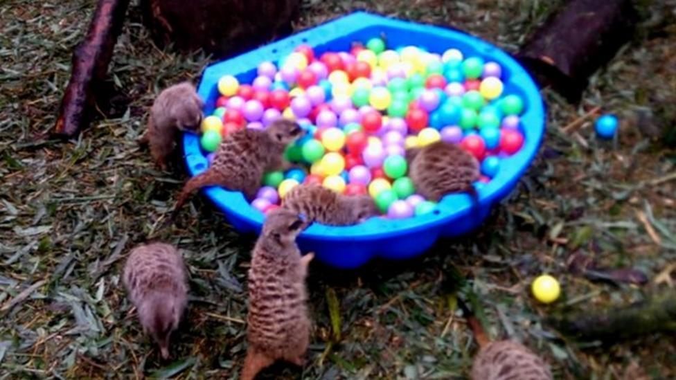 Mini meerkats go wild at ball pool