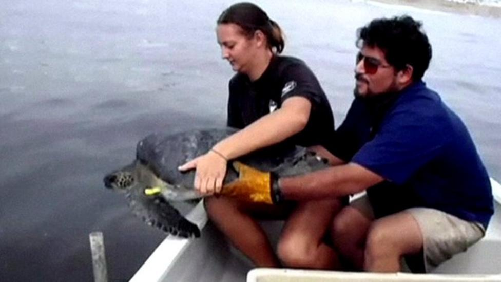 Turtles released back into the sea