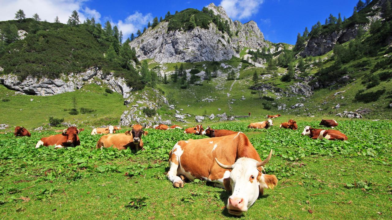 Cows graze in mountain pastures in the Julian Alps (Credit: Credit: Jezer Mojca Odar)