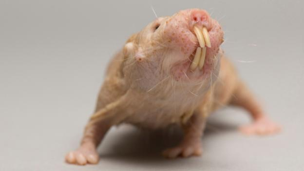 Naked mole rat (Credit: National Geographic Image Collection / Alamy)