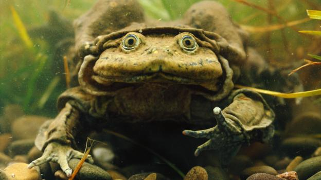 Giant Titicaca Lake frog, Telmatobius culeus (Credit: Nature Picture Library / Alamy)
