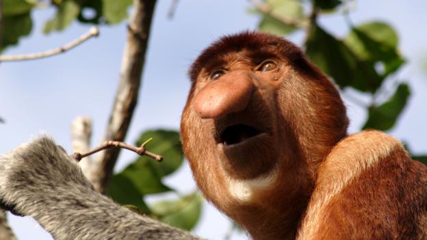 Proboscis monkey, Nasalis larvatus (Credit: dbimages / Alamy)