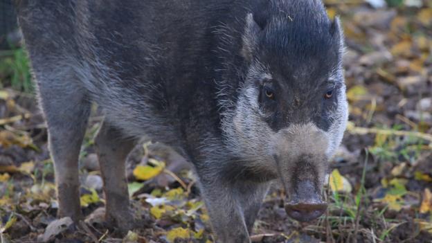 Visayan warty pig, Sus cebifrons (Credit: Wildscreen)