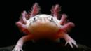 For some, axolotls are considered adorable, with the appearance of a perpetual smile (Credit: Credit: Minden Pictures/Alamy)
