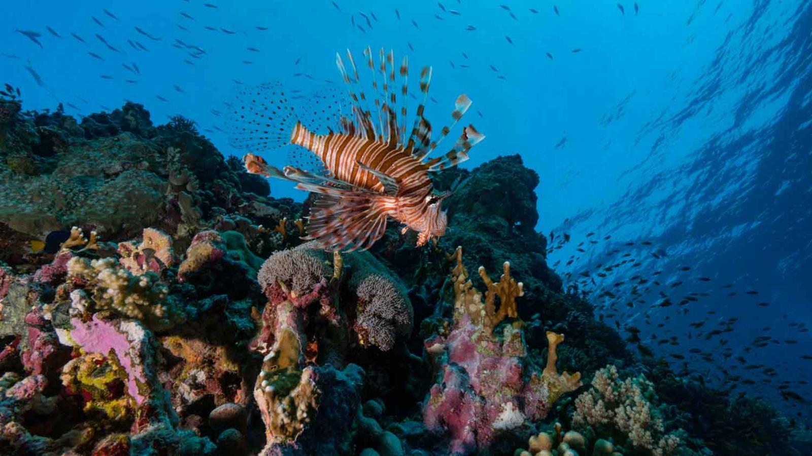 The super-corals of the Red Sea