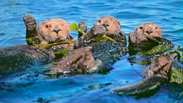 Sea otters: Saving kelp forests and our climate