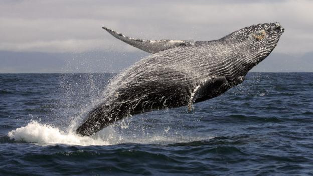 Why whale poo is good for the oceans... and us