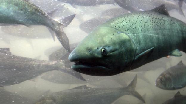 How salmon help keep a huge rainforest thriving