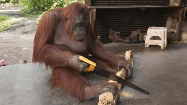 Bbc Earth Orangutans Enjoying Diy