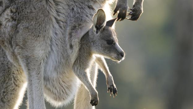BBC - Earth - Amazing birth of a baby kangaroo