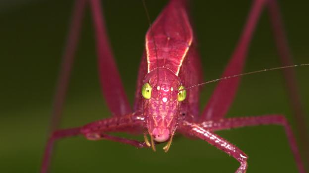 BBC - Earth - The loudest insect in the world