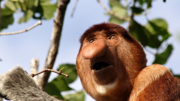 ugly animals monkey earth bbc dieren proboscis monkeys species invasive endemik indonesia