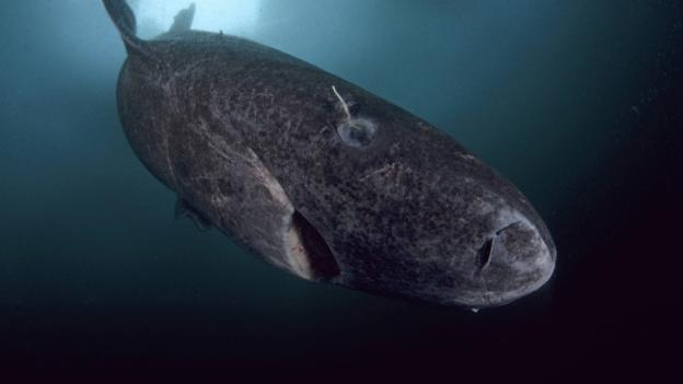 BBC - Earth - Mysterious giant sharks may be everywhere