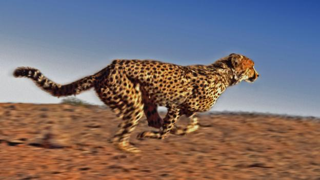 BBC - Earth - The truth about cheetahs