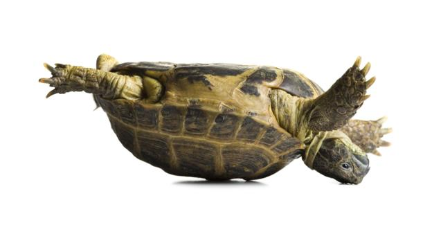BBC - Earth - The upside down tortoise enigma