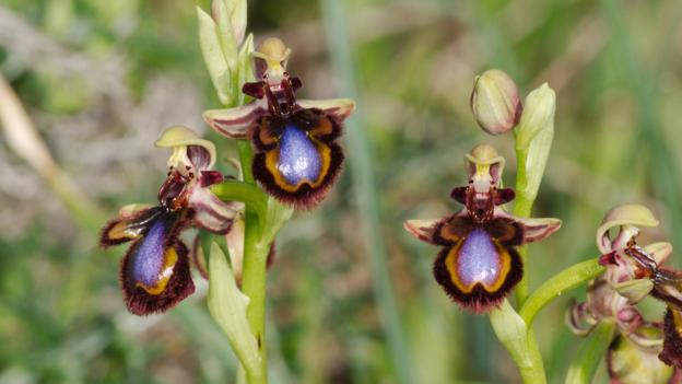 Bbc Earth Three Tricks Orchids Use To Lure Pollinating Insects