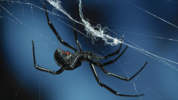 BBC - Earth - Male black widows smell hungry cannibal females