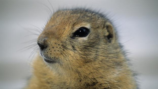 BBC - Earth - Arctic ground squirrels' supercool slumber