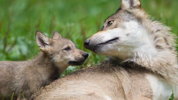 Wolves make great foster parents