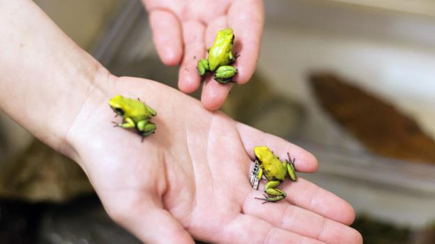 「frog toxins」的圖片搜尋結果