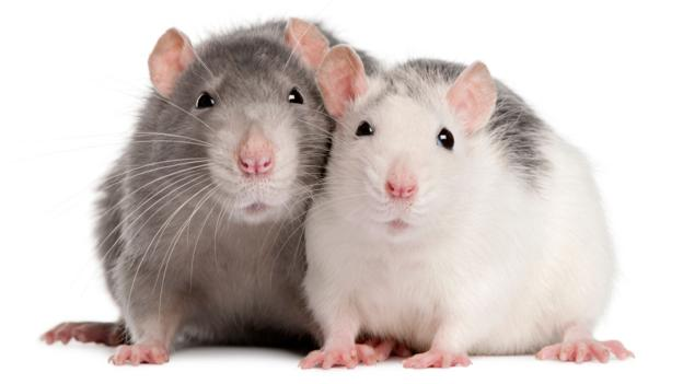 Rats will save their friends from drowning