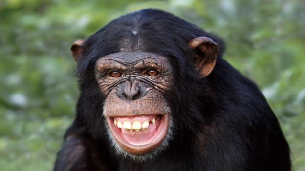BBC - Earth - Chimpanzees can laugh and smile like us
