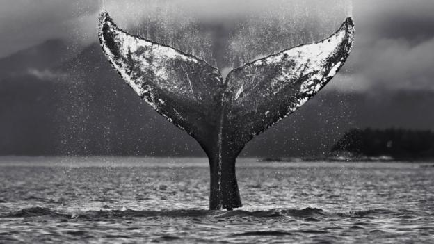 BBC - Earth - The world's most famous whale?
