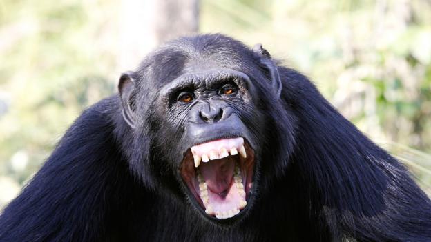 BBC - Earth - Do chimpanzee wars prove that violence is innate?