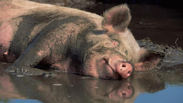 Bbc Earth The Truth About Pigs