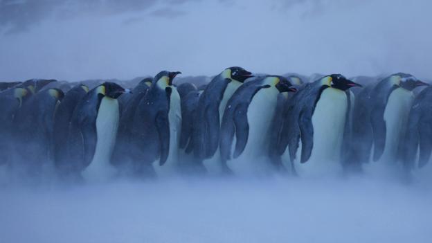 BBC - Earth - In the frigid Antarctic winter, emperor penguins get