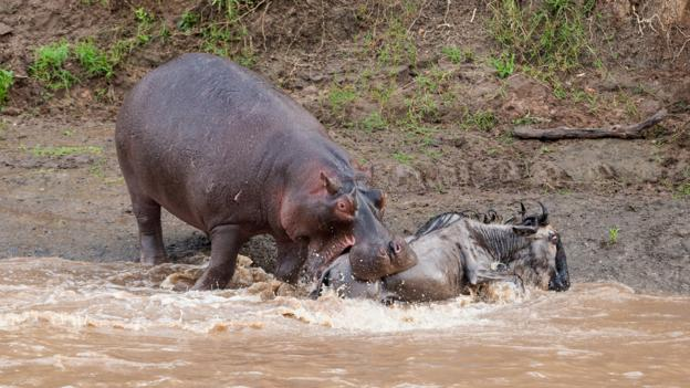 BBC - Earth - Why you should beware a laughing or yawning hippo