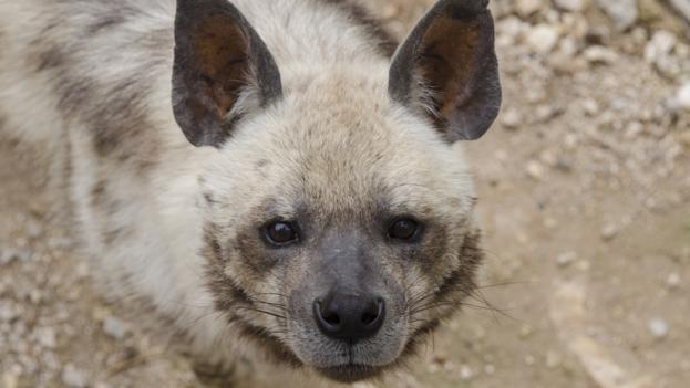 BBC - Earth - The hyena that made its home in a wolf pack