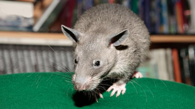 BBC - Earth - The world's largest rats are the size of small