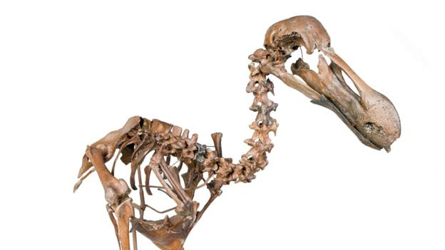 BBC - Earth - The only dodo fossil site is getting a hotel