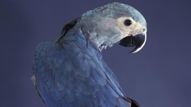 Bbc Earth Amazing Sighting Of Rare Spix S Macaw