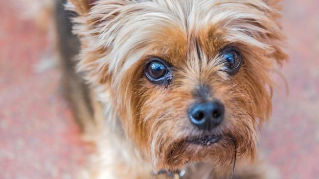 BBC - Earth - Why small dogs might really be more aggressive