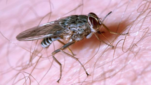 BBC - Earth - A bite from this fly puts you into a deadly sleep