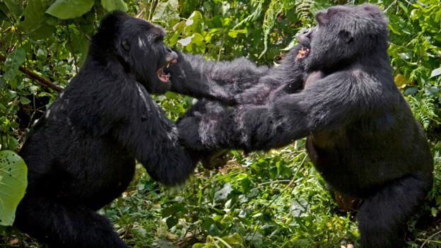 BBC - Earth - Seemingly peaceful gorillas join 'mobs' and