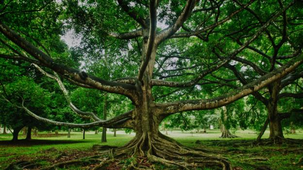 BBC - Earth - The tree that shaped human history