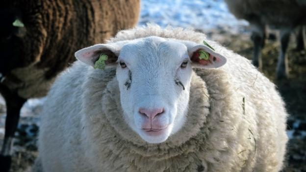 BBC - Earth - Sheep are not stupid, and they are not ...