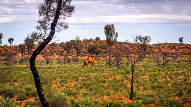 BBC - Travel - The strange story of Australia's wild camel