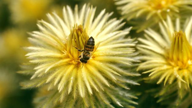 The untapped potential of Africa's honey bees