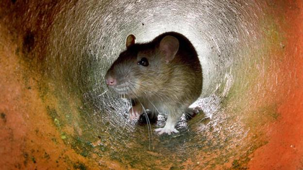 How these cities became rat-free zones
