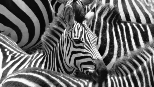 The truth behind why zebras have stripes