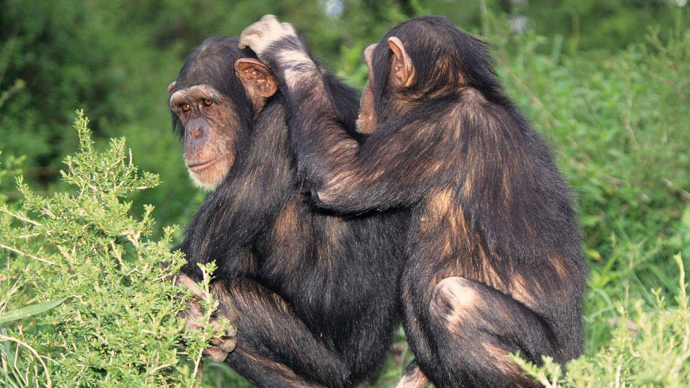 "Chimpanzees picking through their friends' fur are not just doing it for hygiene sake, this so-called ""allogrooming"" has far greater significance. (Copyright: Thinkstock)"